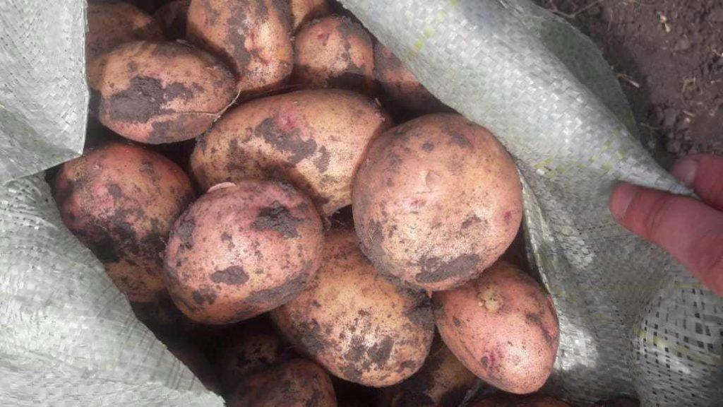 картофель белла роса описание сорта фото отзывы создания